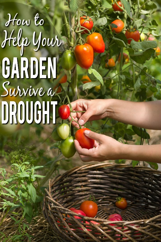 10 Ways to Help Your Garden Survive a Drought -You don't have to let your garden die if you're going through a drought! Help it through the dry spell with these 10 ways to help your garden survive a drought. Gardening tips