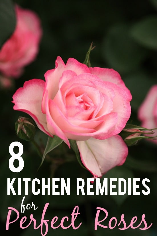 8 Kitchen Remedies for Perfect Roses - Get perfect, beautiful rose blooms with simple fixes right in your kitchen with these 8 kitchen remedies for perfect roses. Great gardening tips for roses!