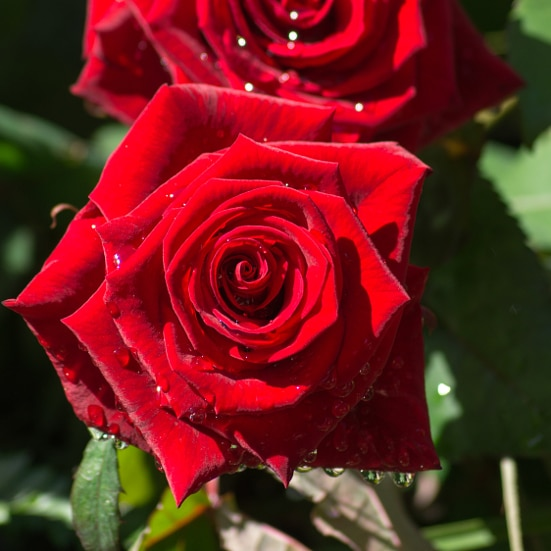 8 Kitchen Remedies for Perfect Roses