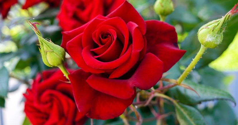 7 Rose Growing Secrets from the Pros - Make sure your rose garden is radiant and beautiful this year with these 7 Rose Growing Secrets the Pros Use. Super easy gardening tips that are absolutely effective for gorgeous roses!