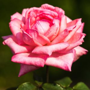 7 Rose Growing Secrets from the Pros -Make sure your rose garden isradiant and beautiful this year with these 7 Rose Growing Secrets the Pros Use. Super easy gardening tips that are absolutely effective for gorgeous roses!