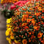 How to Grow Gorgeous Mums