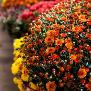 How to Grow Gorgeous Mums -Make sure your mums are the prettiest around and send you into the cold winter months with one more breath of flowering beauty with these 7 Tips to Grow Gorgeous Mums. Fall gardening tips