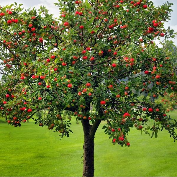 Apple tree with apples on it.