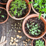 Clay pots with seed sprouts in them on a rustic wood background with seeds scattered.